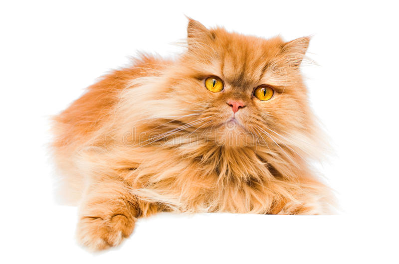 Persian cat. An orange Persian cat on white