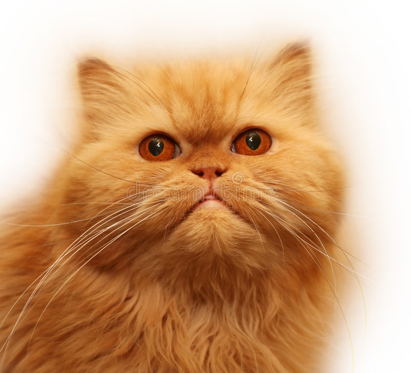 Free Persian Cat Stock Image - 2500371