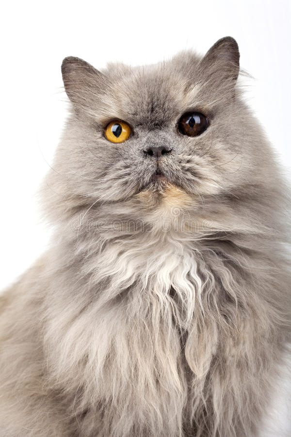 Download Persian Cat stock image. Image of domesticated, background - 26805055