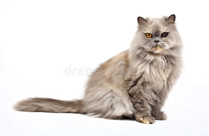 Download Persian Cat stock photo. Image of breeds, pedigree, longhair - 26807862