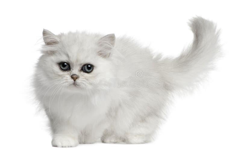 Persian cat, 3 months old, walking