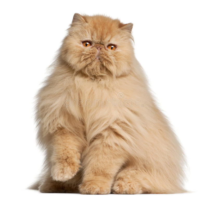 Persian cat, 3 years old stock photography
