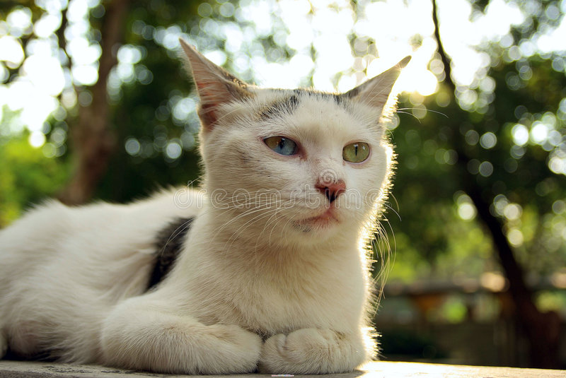 A persian cat royalty free stock images