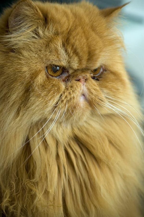 Persian cat. Adult orange persian cat. Vertical portrait royalty free stock photos