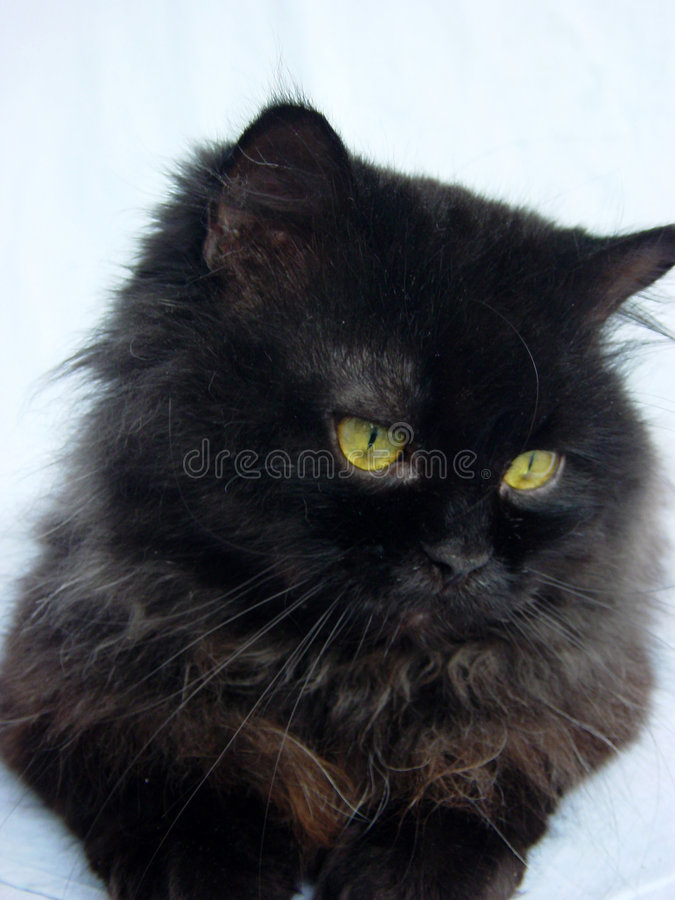 Download Persian cat stock image. Image of eyes, mustache, adorable - 5948671