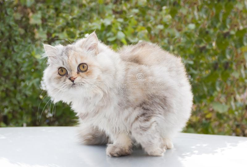 Persian cat, a breed of long-haired cats, stock image