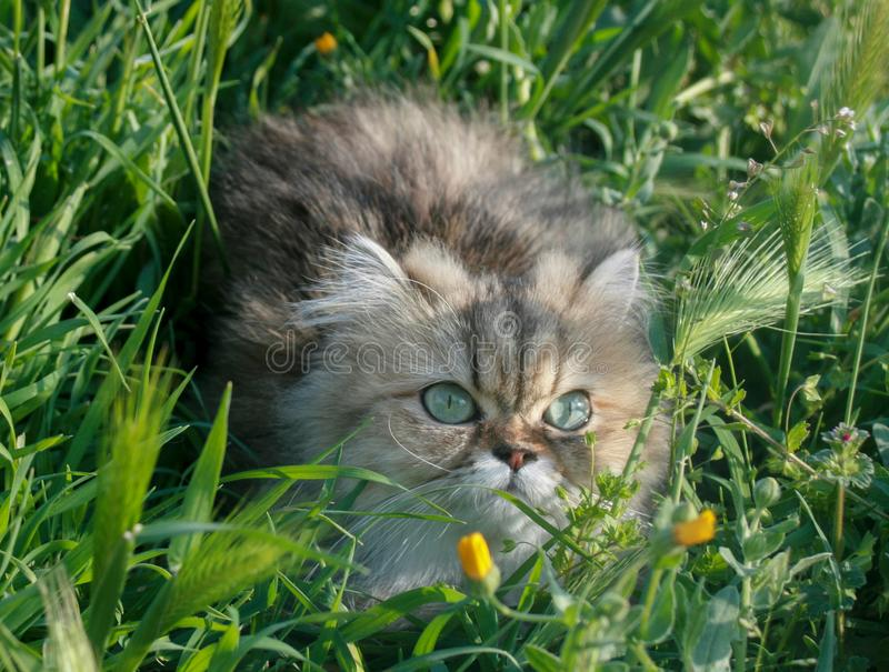 Persian Cat in the field royalty free stock photography