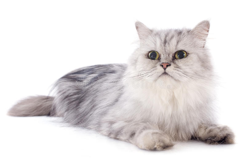 Download Persian cat stock photo. Image of studio, head, feline - 33760508
