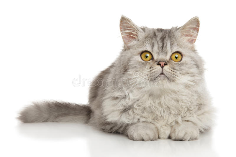 Persian cat in front of white background. Persian cat lying in front of white background stock photo