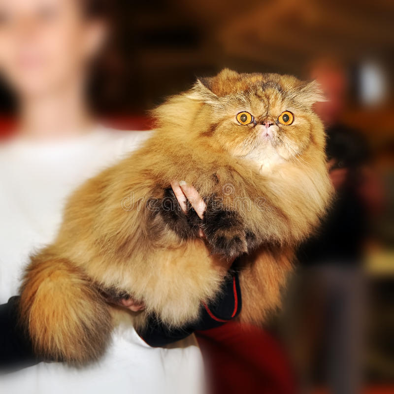 Persian cat at the hands. Of the owner royalty free stock photos