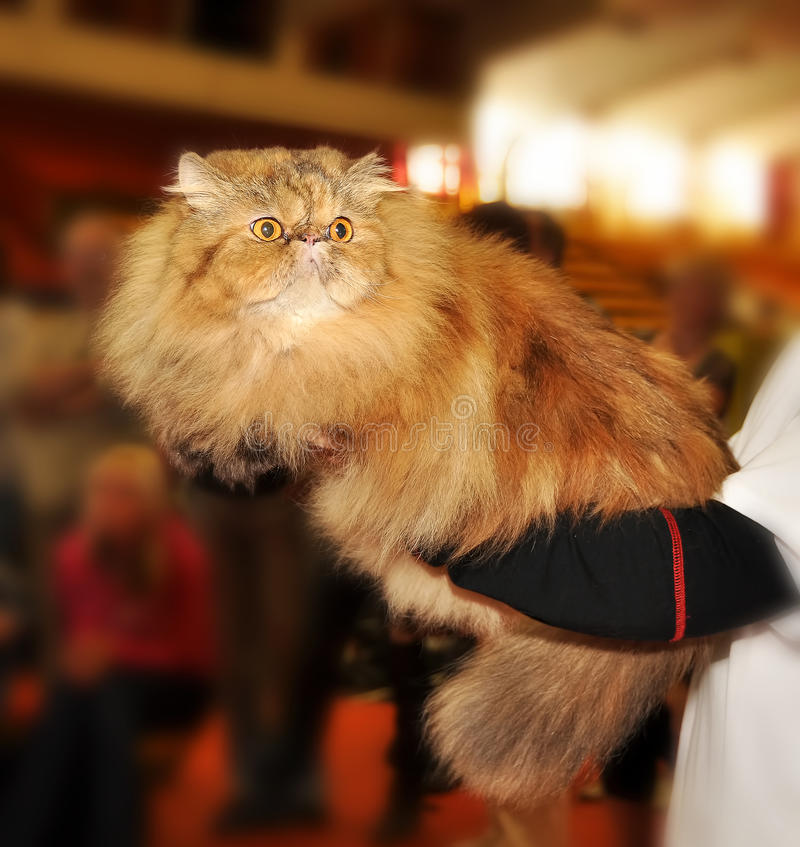 Persian cat at the hands. Of the owner stock photo