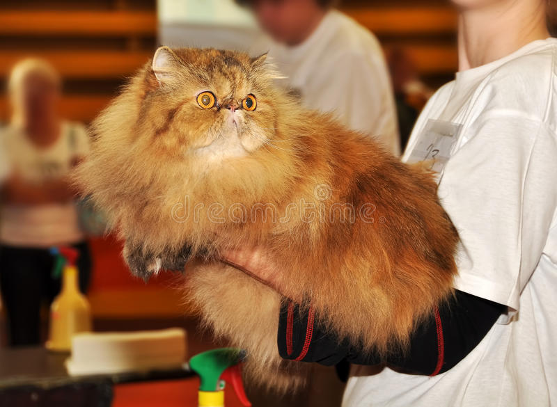 Persian cat at the hands. Of the owner stock images