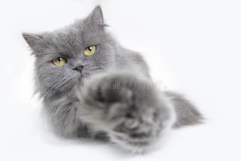 Persian cat. Looking to the camera royalty free stock images