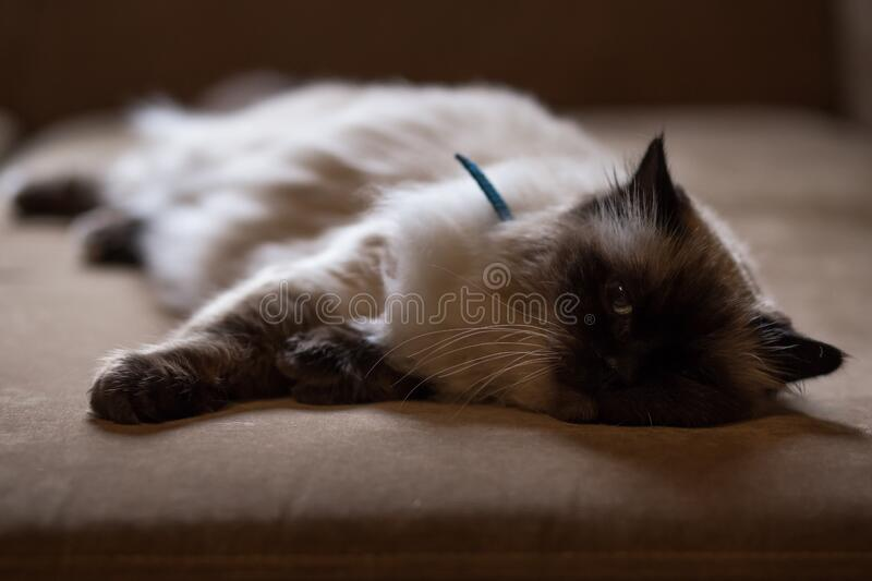 Persian Cat Lying On Bed Free Public Domain Cc0 Image