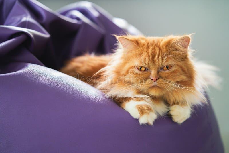Persian cat. On the bean bag stock photography