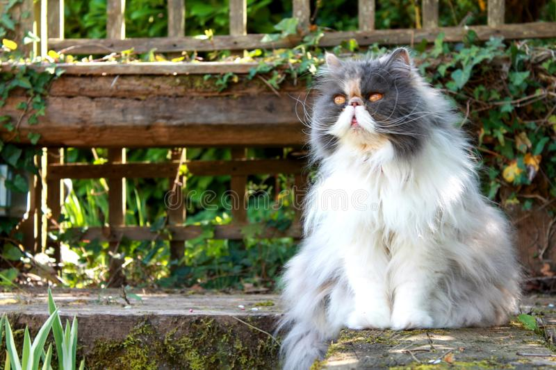 Persian Cat by Pond stock images