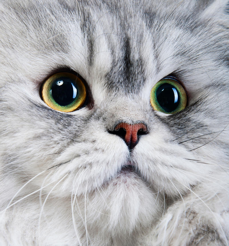 Free Persian Cat Portrait Royalty Free Stock Photos - 20980018