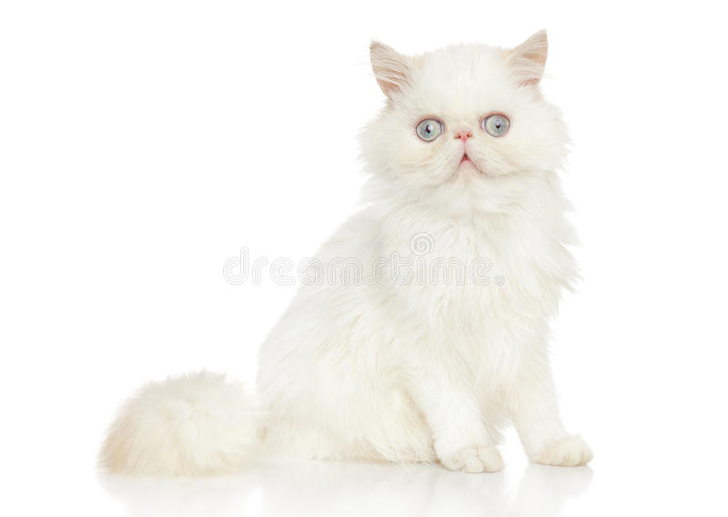Persian cat. Portrait on white background royalty free stock images