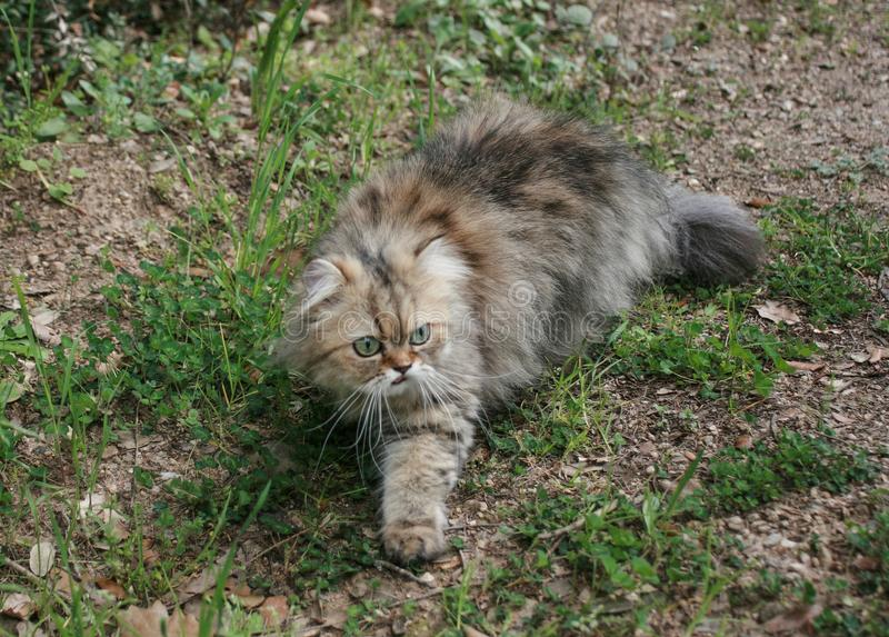 Persian Cat smelling with open mouth royalty free stock photo