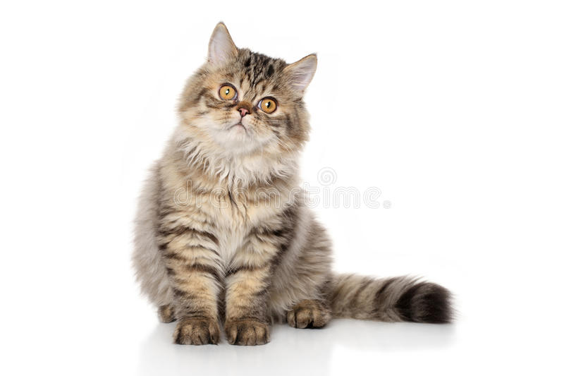 Persian cat. Persian striped cat sits in front of white background stock photo