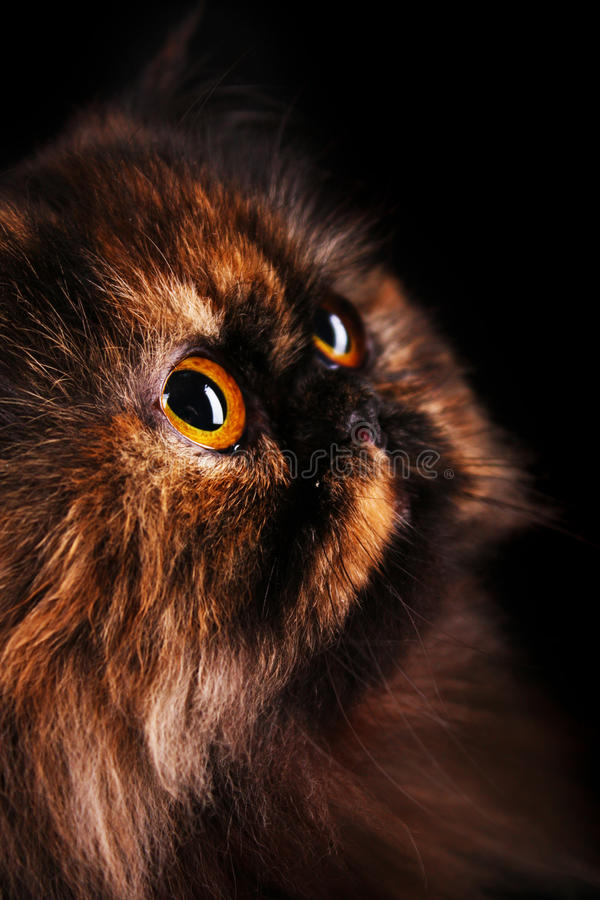 Persian Cat In Turtle Colors Royalty Free Stock Photo