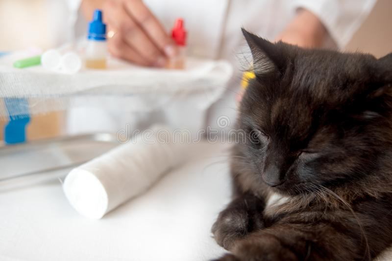 Persian cat with veterinarian doctor at vet clinic. Cat with veterinarian doctor at vet clinic. examination of the animal with a phonendoscope stock image