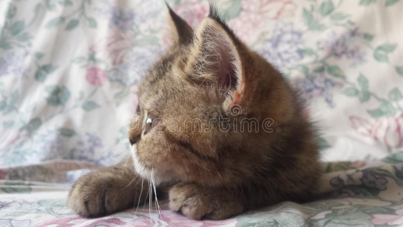 Exotic Shorthair kitten, 4 months old, streched. Animal, camera. royalty free stock image