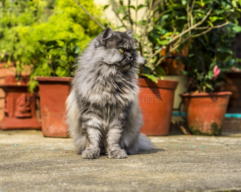 Persian cat waiting for a prey stock image