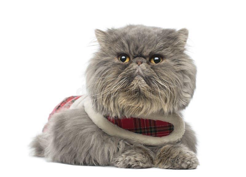 Download Persian Cat Wearing A Tartan Harness, Lying, Looking Away Stock Photo - Image: 37852770