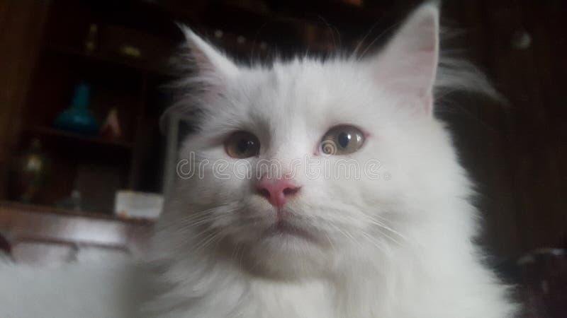Persian cat stock photos