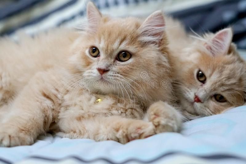Persian cats cute brunette. royalty free stock photo
