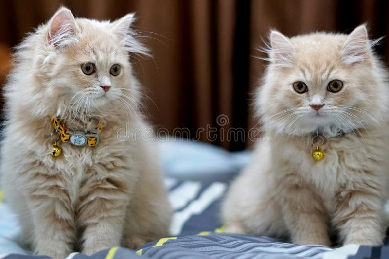 Persian cats cute brunette. royalty free stock photos