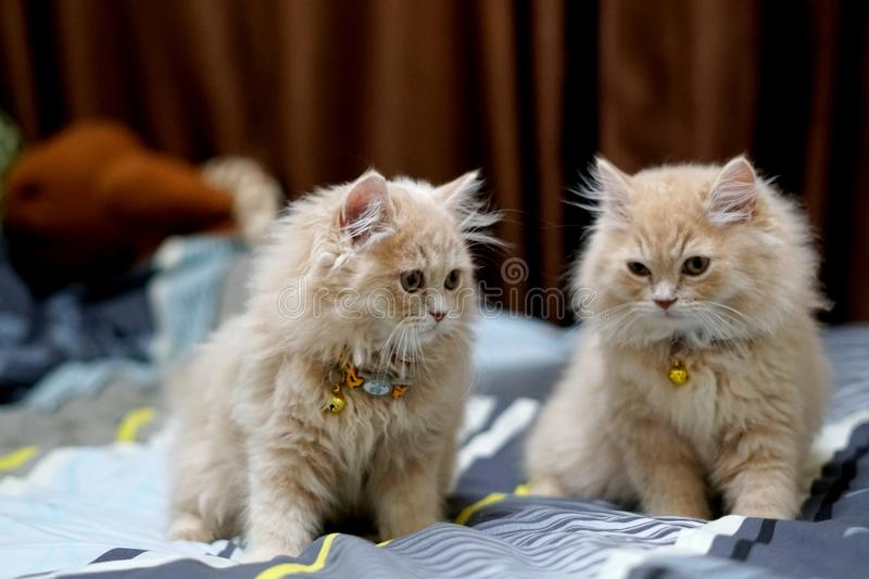 Persian cats cute brunette. royalty free stock image