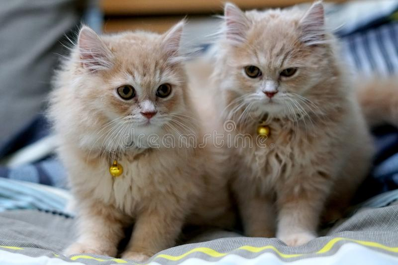 Persian cats cute brunette. stock image
