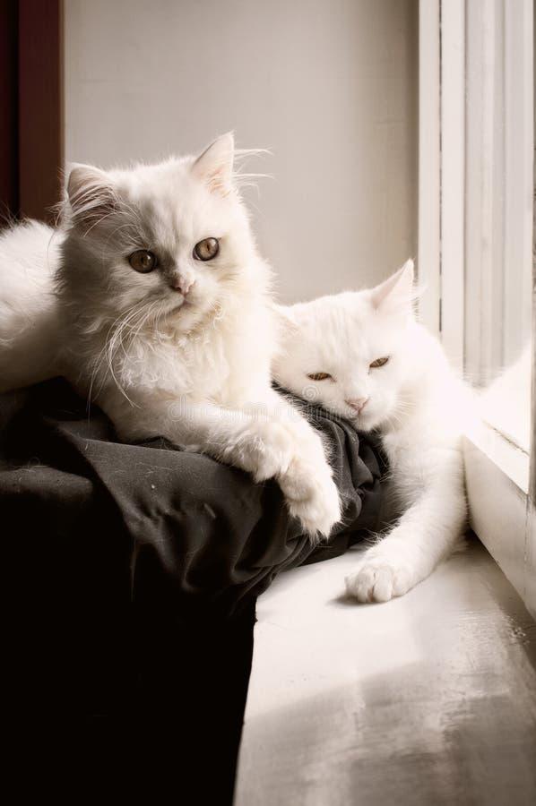 Persian cats stock photo