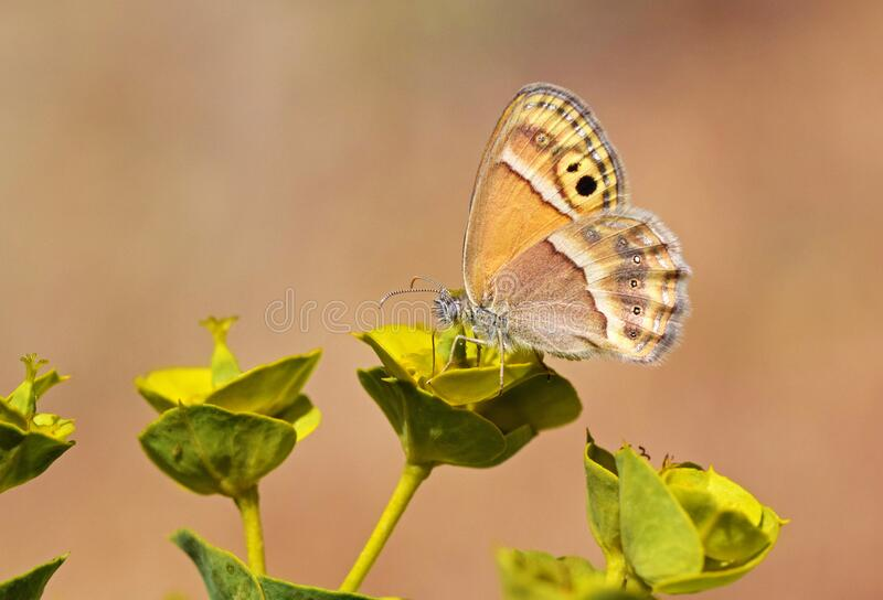 Coenonympha saadi or Persian heath butterfly nectaring. Persian heath or Saadi heath with scientific name of Coenonympha saadi butterfly nectaring on euphorbia stock images