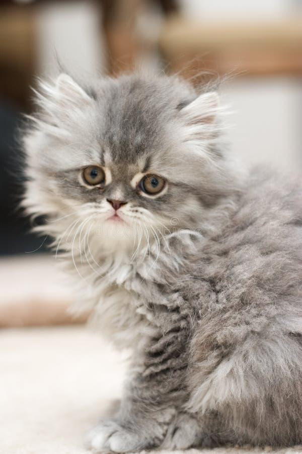 Persian Kitten. Portrait of the persian kitten stock photos