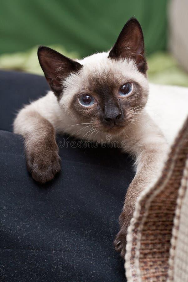 Persian kitten royalty free stock photo