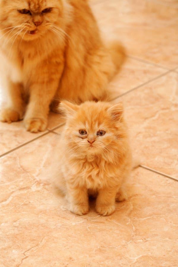 Persian kitten. stock photo