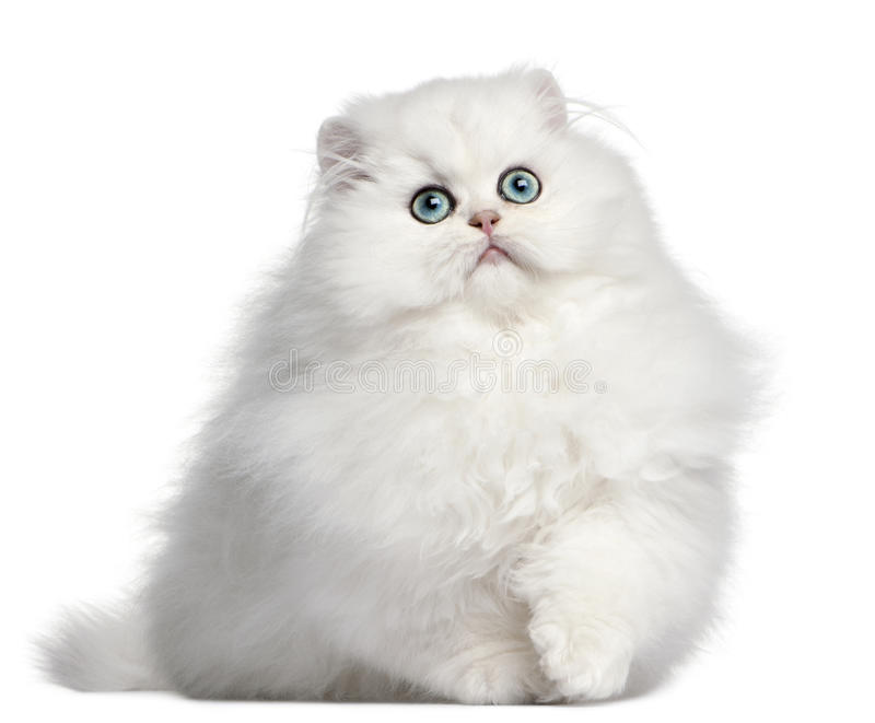 Persian kitten, 4 months old stock images