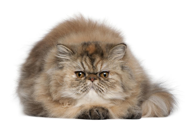 Persian Kitten, 6 Months Old, Lying Royalty Free Stock Photo