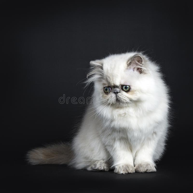Persian kitten sitting and looking down. Persian longhair cat / kitten sitting isolated on black background looking down royalty free stock images