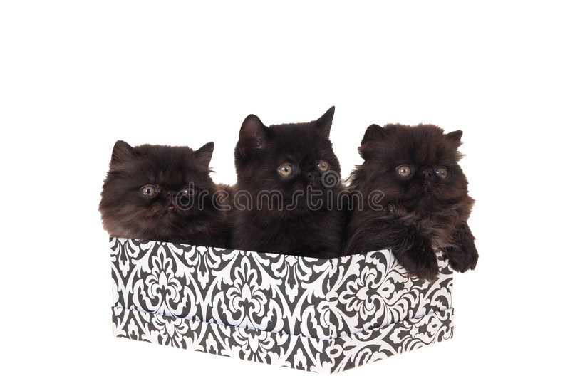 Persian kittens in gift box isolated on white royalty free stock images