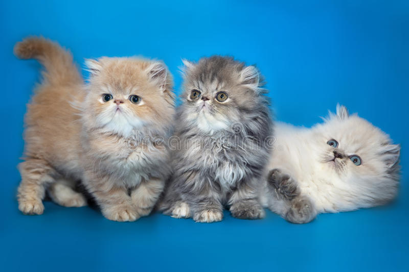 Persian kittens on a studio background royalty free stock photos