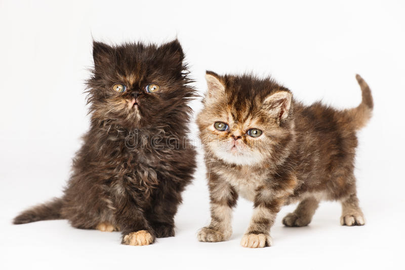 Persian kittens royalty free stock images