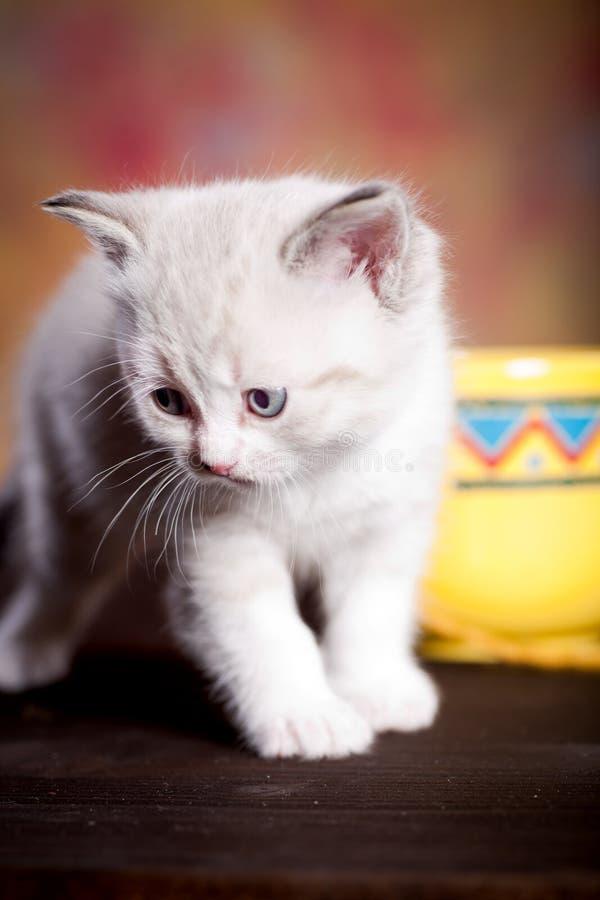 Persian kitty royalty free stock photo