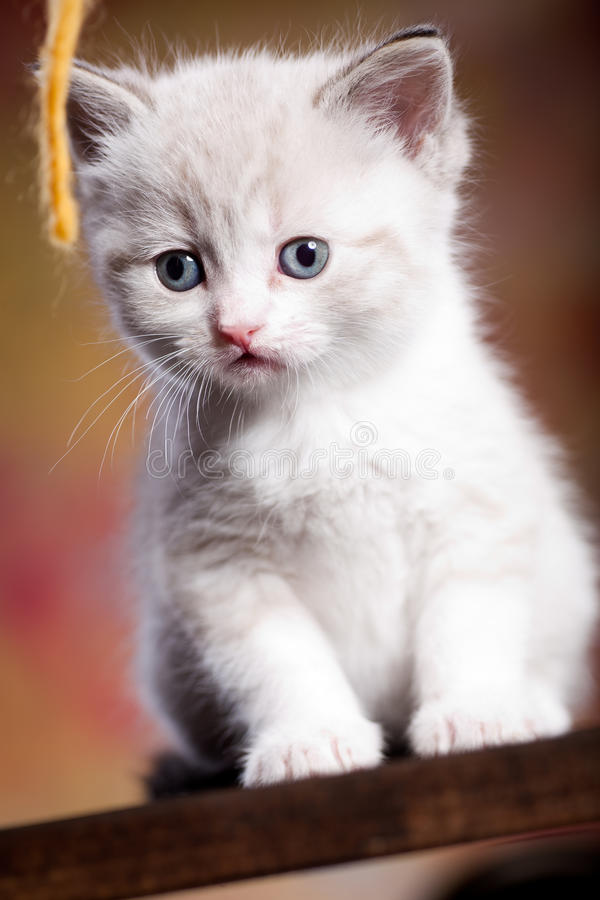 Download Persian Kitty Stock Image - Image: 19782031
