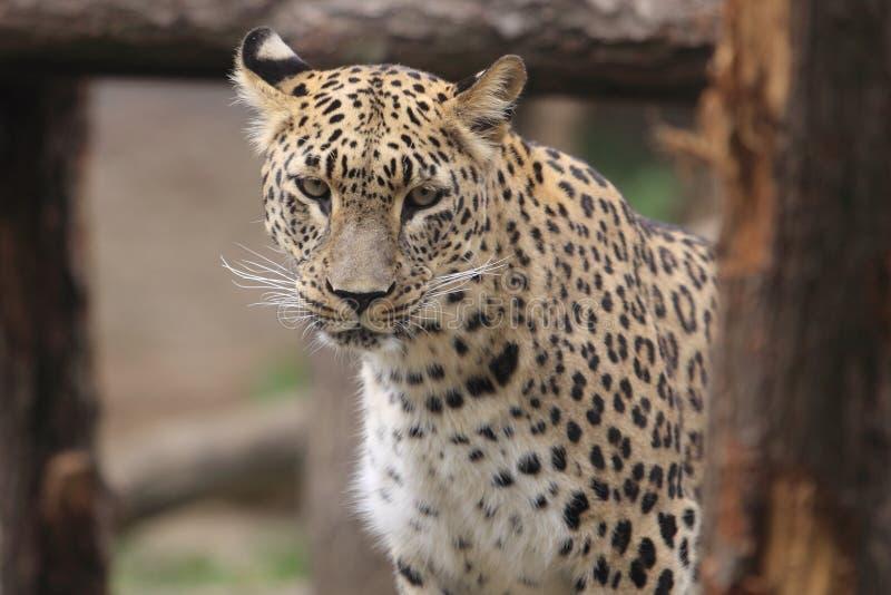 Download Persian leopard stock photo. Image of nature, persian - 26812606