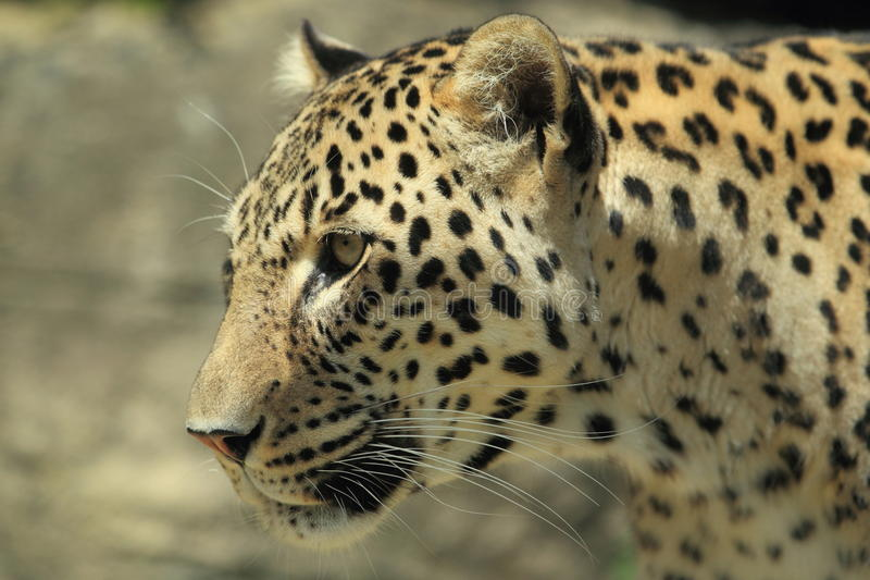 Persian leopard. The detail of persian leopard royalty free stock images