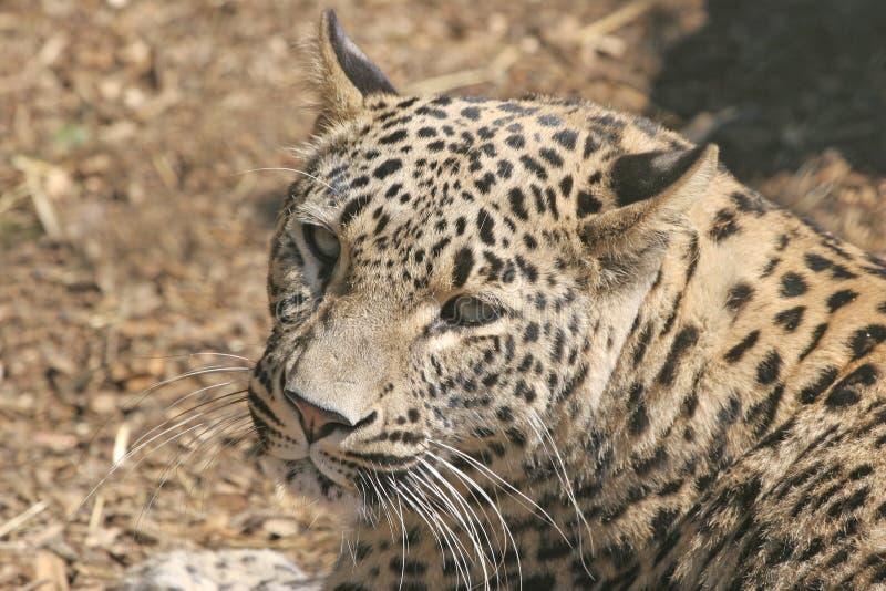 Persian leopard royalty free stock photos